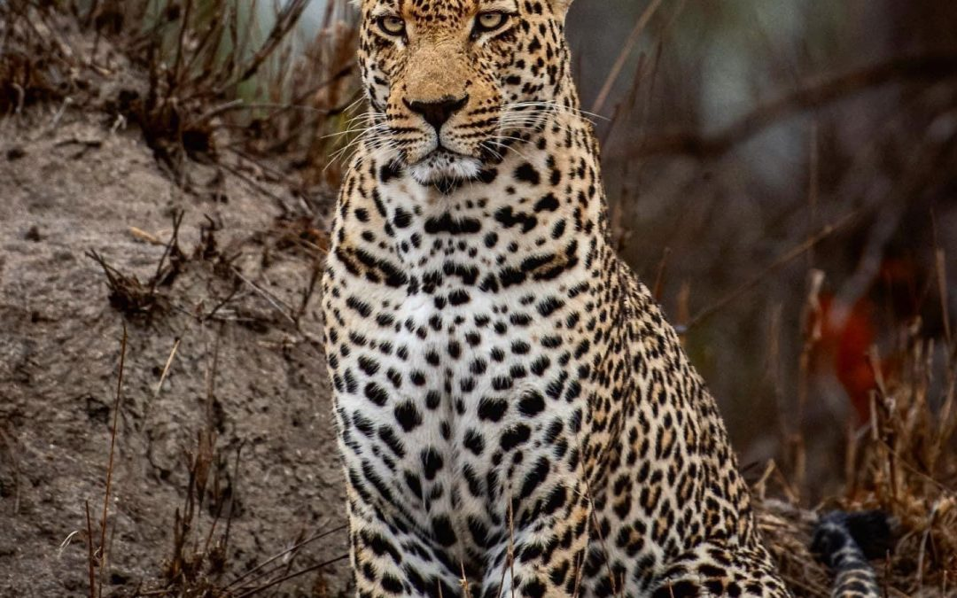 Big Cats of the Northern Sabi Sands Safari
