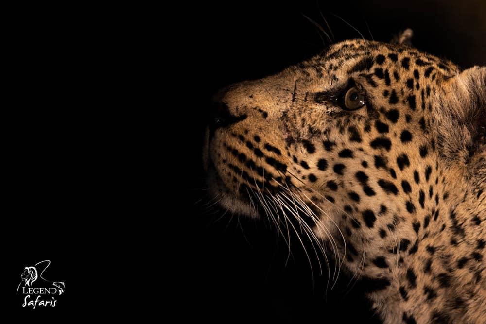 tingana male leopard safari